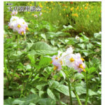JAつやま広報誌「シャイン」5月号